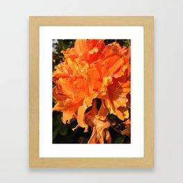Orange Azaleas Framed Art Print