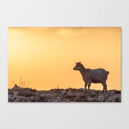 Goat baby sunset E5-5789 Canvas Print