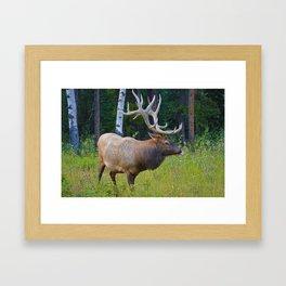 Bull Elk shows off his rack in Jasper National Park Framed Art Print