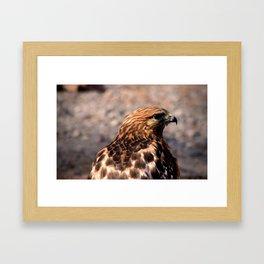 Portrait of a Hawk Framed Art Print