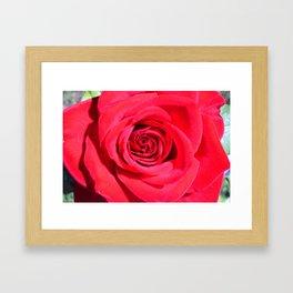 Classic Rose: Color Version Framed Art Print