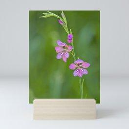 Beauty in nature, wildflower Gladiolus illyricus Mini Art Print