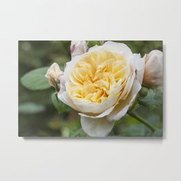 Old English rose Metal Print