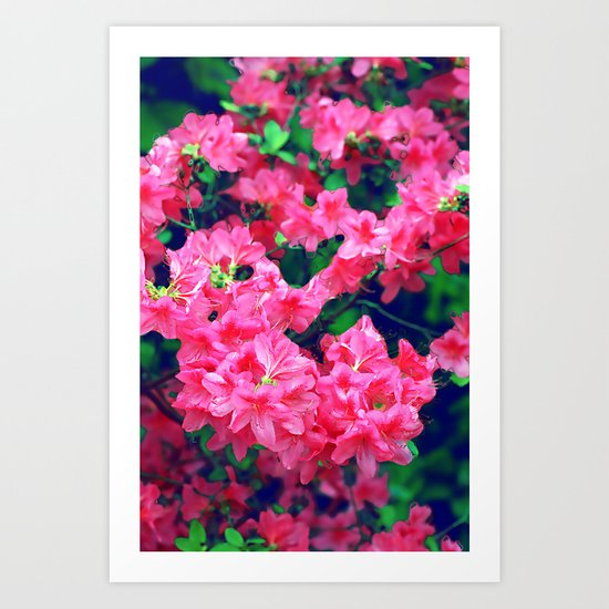 Pink azalea blooms. Art Print