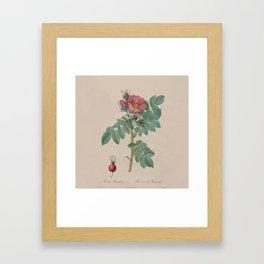 Rosa JP Redoute Framed Art Print