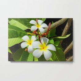 Enchanting Frangipani Metal Print