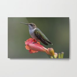 Humming bird resting on a flower Metal Print