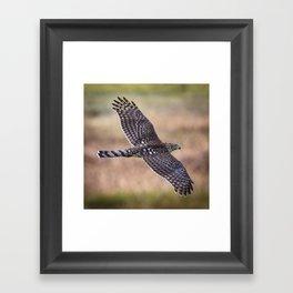 Cooper's Hawk In Flight Framed Art Print