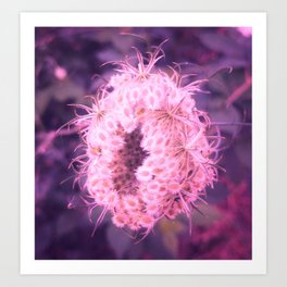 Pink Closing Queen Anne's Lace Art Print