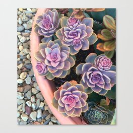 echeveria planter Canvas Print