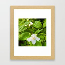 Wild Sicilian Jasmine Framed Art Print