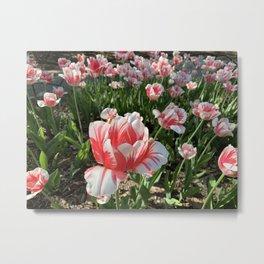 Spring - Tulip Red&White Metal Print