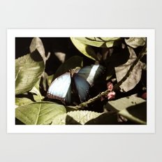 Blue and Black Butterfly Color Photography Art Print