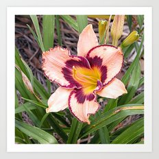 Pink daylily growing in Queensland Art Print