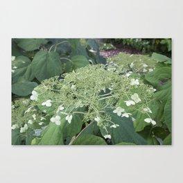 Lace Hydrangea Canvas Print