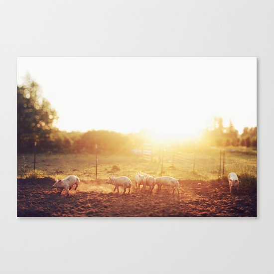 Pig Dust Canvas Print