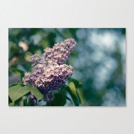 Syringa vulgaris lilac Canvas Print