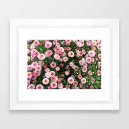 Beautiful pink flower field, shallow depth of field. Natural background with pink flowers, pink chry Framed Art Print
