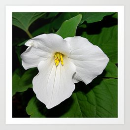 Trillium in the spotlight Art Print
