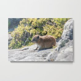 Dassie on table mountain | South Africa travel and wildlife photography | Bright and pastel colored photo print | Metal Print