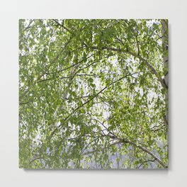 wood birch Metal Print