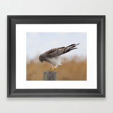 Harrier Framed Art Print