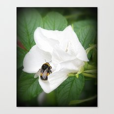 Hedge Rose with Busy Bee Canvas Print