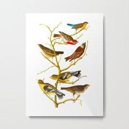 Lazuli Finch, Crimson-necked Bull-Finch, Gray-crowned Linnet, Cow-pen Bird, Evening Grosbeak, Brown Metal Print