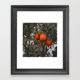 Three oranges on an orange tree Framed Art Print