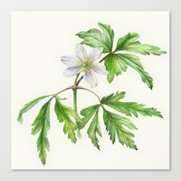 White wood anemone botanical watercolor art Canvas Print