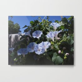 Beauty of Blue Morning-Glory Blooms Metal Print