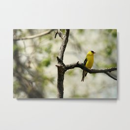American Goldfinch Perched in a Tree Metal Print