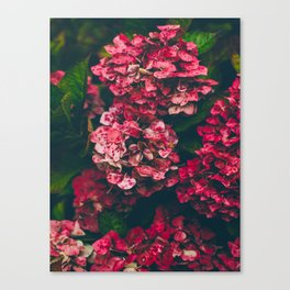 Christmas Hydrangea Red Floral Green Leaves Supple Flowers In The Garden Canvas Print