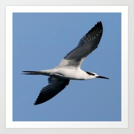 Sandwich Tern In Flight Vector Art Print
