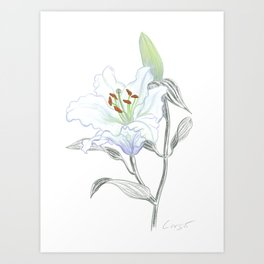 Lily 01 Botanical Flower * White Casablanca Lily Art Print