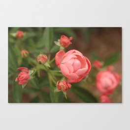 Salmon Roses Canvas Print