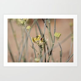 Boxelder Beetle on Desert Milkweed at Sunnyland Art Print
