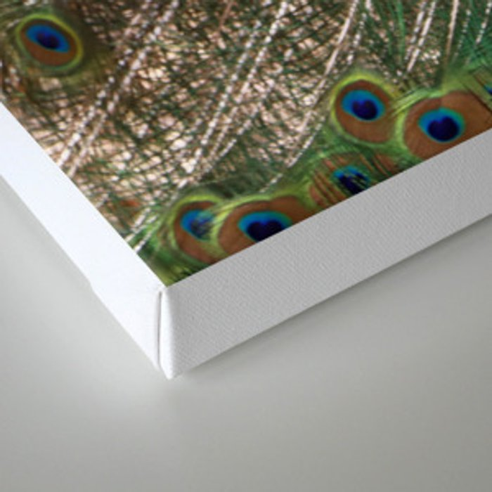 A Peacock Displays its Finery Canvas Print