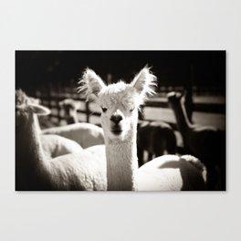 Tio Farm Alpaca Canvas Print