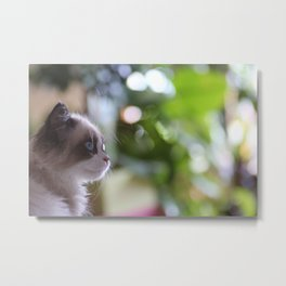 ragdoll eyes Metal Print