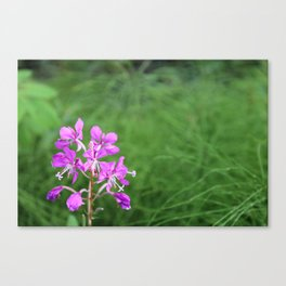 Fireweed Wildflower Canvas Print