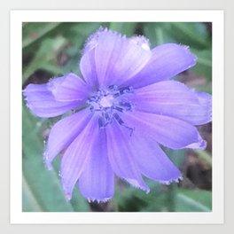 Chicory 1 Art Print