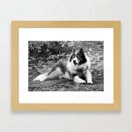 greenland dog Framed Art Print