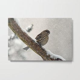 Facing the Storm (House Finch) Metal Print