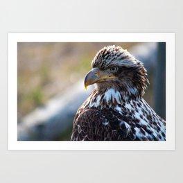 Young Bald Eagle Art Print