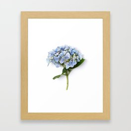 Blue hydrangea flowers Framed Art Print