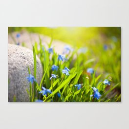 Scilla siberica flowerets named wood squill Canvas Print