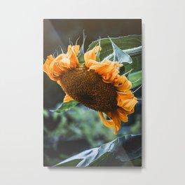 Pondering Sunflower Photograph Metal Print