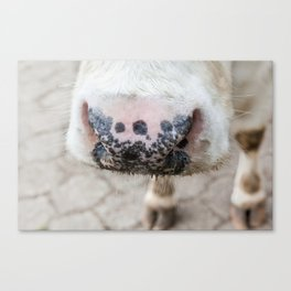 noise of an cow Canvas Print