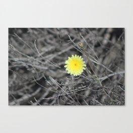 Lemon Yellow Desert Dandelion Coachella Preserve Selective Coloring Canvas Print